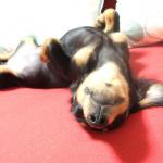 ペット保険(犬保険・猫保険)と大手損保で加入できる個人賠償責任保険について